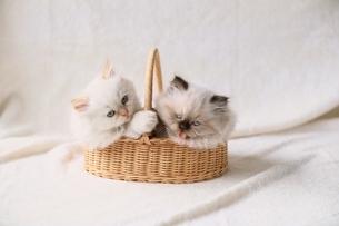 ネコの写真素材 [FYI03167121]