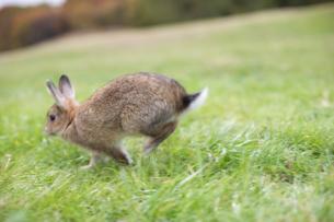 芝生の上を走るネザーランドドワーフの写真素材 [FYI03168401]