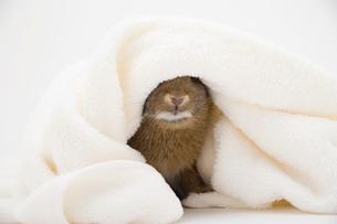 毛布をかぶるネザーランドドワーフの写真素材 [FYI03168422]