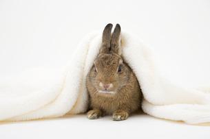 毛布をかぶるネザーランドドワーフの写真素材 [FYI03168423]