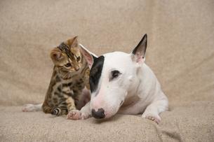 ミニチュアブルテリアとベンガル猫の写真素材 [FYI03168432]
