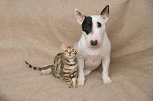 ミニチュアブルテリアとベンガル猫の写真素材 [FYI03168433]