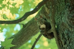 木の枝につかまるエゾリス 浦臼町 北海道の写真素材 [FYI03168612]