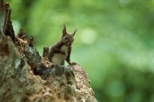 木に立っているエゾリス 浦臼町 北海道の写真素材 [FYI03168613]