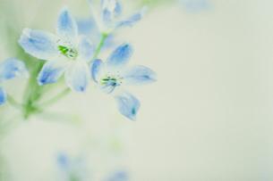 白と青い花の写真素材 [FYI03169041]
