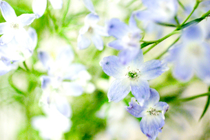 白と青い花の写真素材 [FYI03169045]