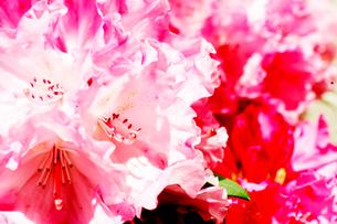 赤とピンクの花の写真素材 [FYI03169235]