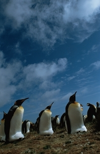 KING PENGUIN,FALKLAND ISLANDの写真素材 [FYI03169629]