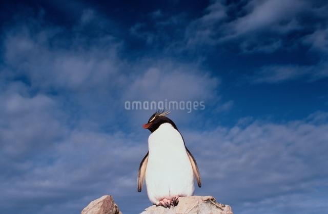 Rock hopper Penguin, Falkland Islandsの写真素材 [FYI03169636]