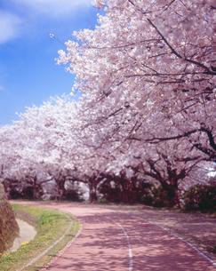 桜並木と陸上トラックの写真素材 [FYI03170028]
