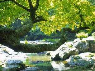 新緑と渓流の写真素材 [FYI03170052]