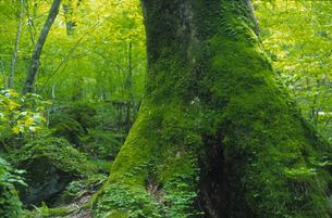 新緑の木の写真素材 [FYI03170054]