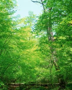 新緑の木の写真素材 [FYI03170060]