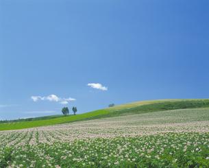じゃがいもの花と青空の写真素材 [FYI03170085]