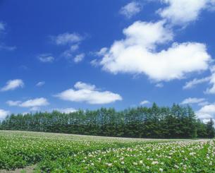 じゃがいも畑と青空の写真素材 [FYI03170089]