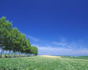 じゃがいも畑と青空の写真素材 [FYI03170096]