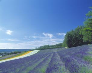 ラベンダーの咲く丘の写真素材 [FYI03170103]