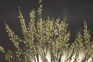 春の芽吹きのタチヤナギの写真素材 [FYI03170125]