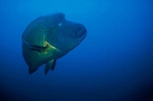 ナポレオンフィッシュ(青) 水中撮影 モルディブの写真素材 [FYI03170131]