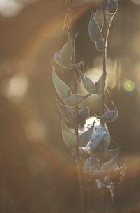 草についているくもの巣の写真素材 [FYI03170558]