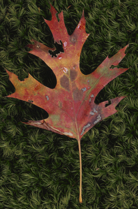 樫の木の葉の写真素材 [FYI03170572]