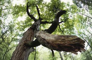 森の中の樫の木の写真素材 [FYI03170582]