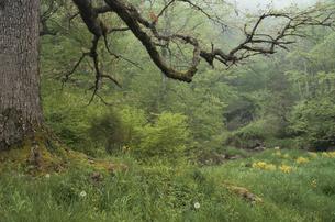 森の中の樫の木の写真素材 [FYI03170583]