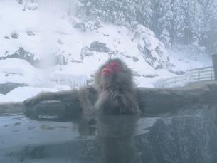 露天風呂に入る日本猿の写真素材 [FYI03170805]