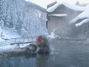 露天風呂に入る日本猿の写真素材 [FYI03170806]