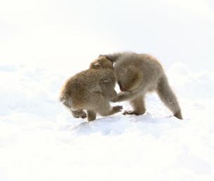雪上の二匹の小猿の写真素材 [FYI03170820]