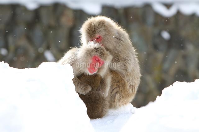 雪上の日本猿親子の写真素材 [FYI03170821]