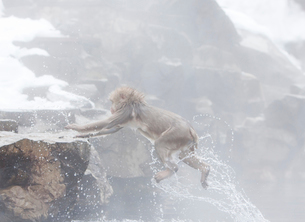 温泉から飛び出す日本猿の写真素材 [FYI03170824]