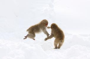 雪上の二匹の小猿の写真素材 [FYI03170825]