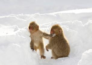 雪上の二匹の小猿の写真素材 [FYI03170828]