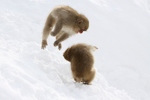 雪上の二匹の小猿の写真素材 [FYI03170829]