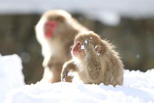 雪上の二匹の小猿の写真素材 [FYI03170831]