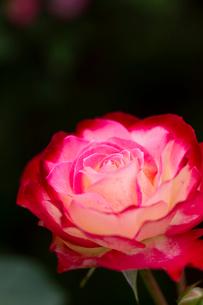 暗闇に浮かび上がるバラの花の写真素材 [FYI03170901]