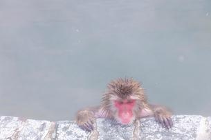 温泉を楽しむ猿 函館市熱帯植物園の写真素材 [FYI03171007]