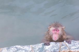 温泉を楽しむ猿 函館市熱帯植物園の写真素材 [FYI03171012]