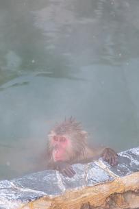 温泉を楽しむ猿 函館市熱帯植物園の写真素材 [FYI03171013]