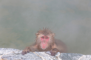 温泉を楽しむ猿 函館市熱帯植物園の写真素材 [FYI03171016]