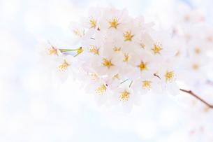 多摩川住宅に咲く桜の写真素材 [FYI03171019]