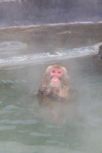 温泉を楽しむ猿 函館市熱帯植物園の写真素材 [FYI03171020]