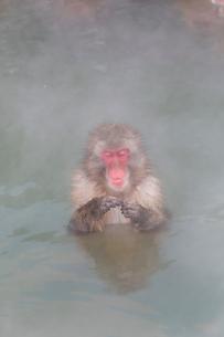 温泉を楽しむ猿 函館市熱帯植物園の写真素材 [FYI03171023]