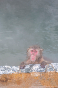温泉を楽しむ猿 函館市熱帯植物園の写真素材 [FYI03171024]