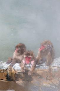 温泉を楽しむ猿たち 函館市熱帯植物園の写真素材 [FYI03171025]