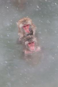 温泉を楽しむ猿 函館市熱帯植物園の写真素材 [FYI03171026]