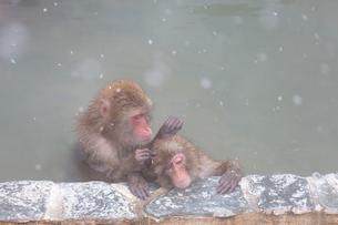 温泉を楽しむ猿 函館市熱帯植物園の写真素材 [FYI03171027]