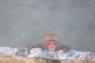 温泉を楽しむ猿 函館市熱帯植物園の写真素材 [FYI03171031]