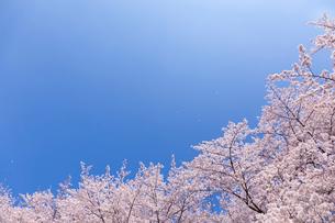 桜に青空 風に舞う花びらの写真素材 [FYI03171037]